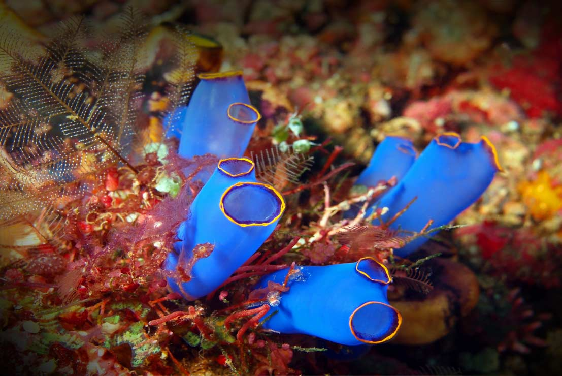The Sea Squirt